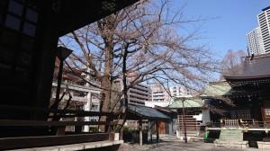 DSC_0099桜 (1)
