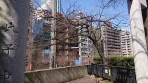 DSC_0099桜 (2)